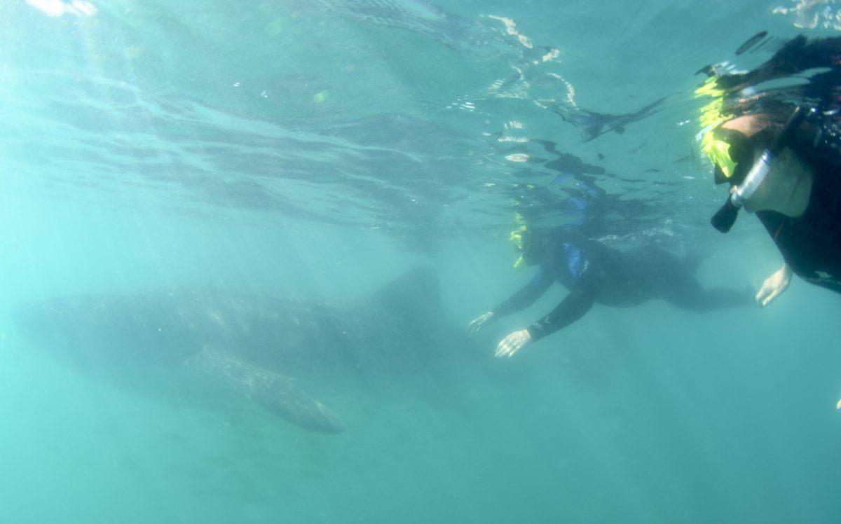 whale sharks in la Paz