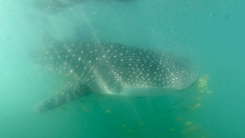 snorkelling with whale sharks in la Paz