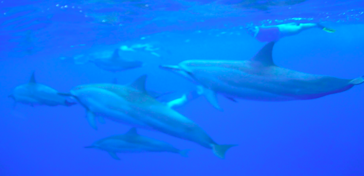 big island snorkeling, snorkeling with dolphins, snorkelling with dolphins