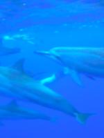 dolphin snorkeling hawaii