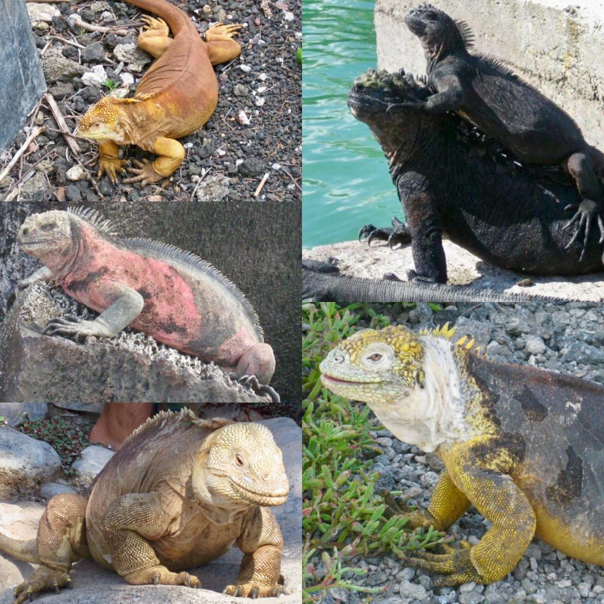 types of iguanas in the Galapagos islands