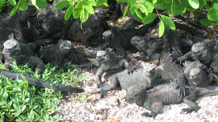 iguanas at Tortuga Bay, Santa Cruz Island Galapagos