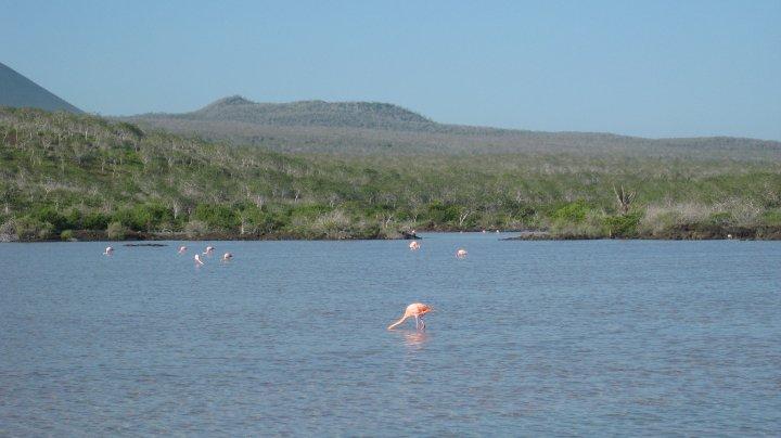 flamingoes, Floreana island, Galapagos islands