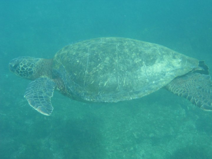 snorkelling with sea turtles North Seymour island Galapagos