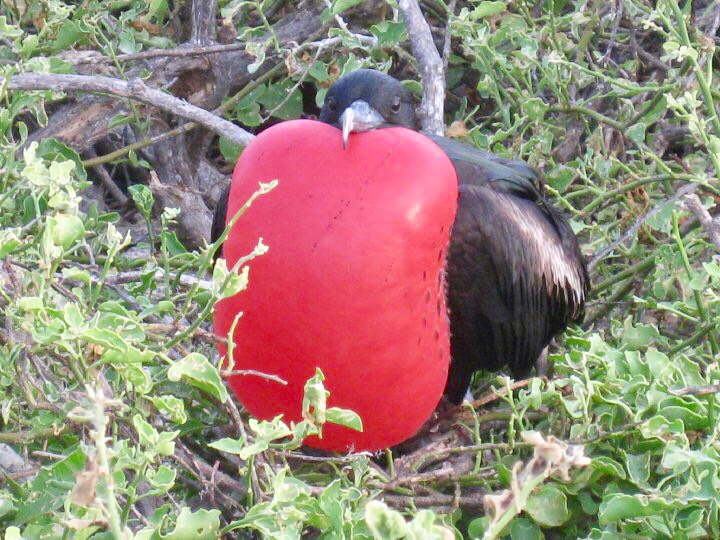 magnificent frigatebird north Seymour island galapagos