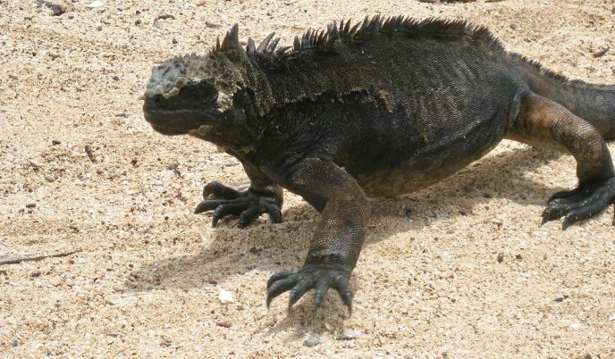 iguanas galapagos islands, why are the Galapagos islands unique
